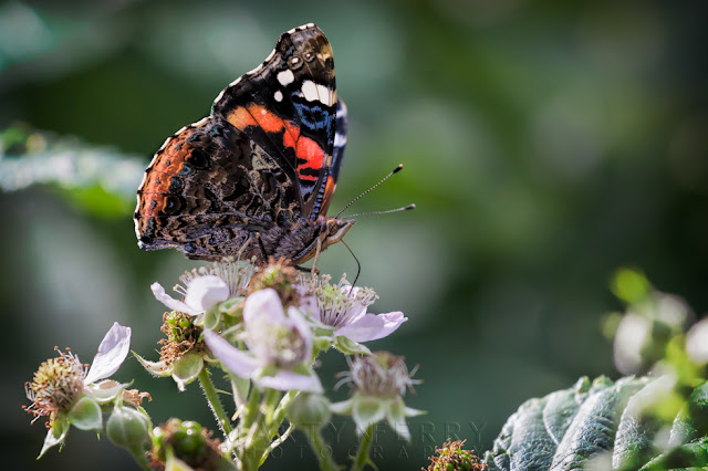 Macro photograph of a red admiral butterfly on a flower at Holme Fen