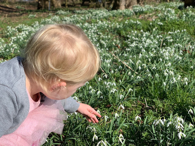 A child crouched down and looking at a patch of snowdrops in February sunshine