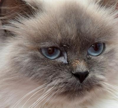 Persian vs Himalayan Cat Personality, Size, Lifespan, Price