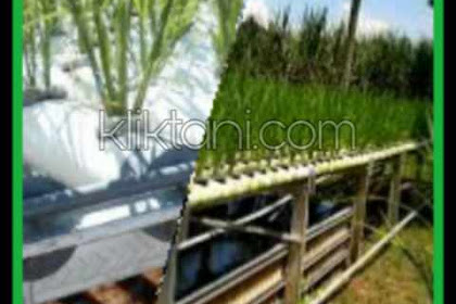 Hidroponik Padi, Solusi Pertanian Padi Di Lahan Sempit Atau Kering