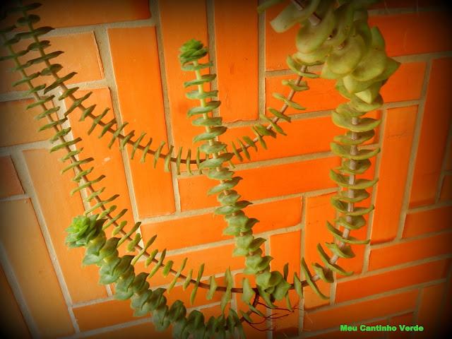 Suculenta ramo folhas juntas
