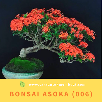 Bonsai Asoka (006)