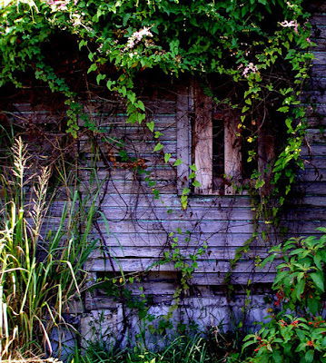 Ruins of wooden home over run with vines.