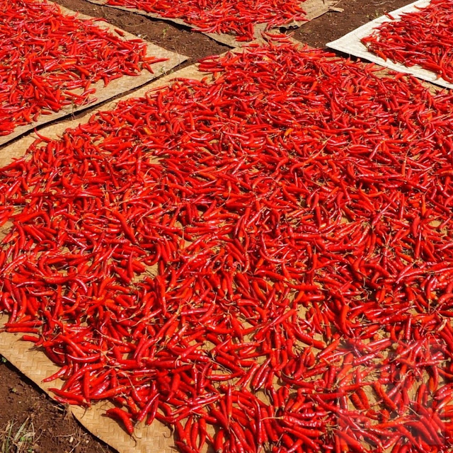 Fresh hot peppers drying in the sun naturally