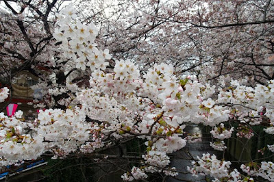 White sakura flowers at Nakameguro Japan
