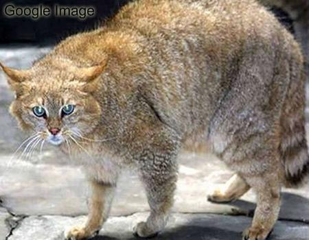 Kucing Gunung Cina