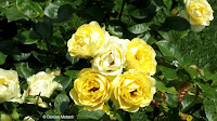 Yellow roses, Boothe Memorial Park and Museum, Stratford, CT