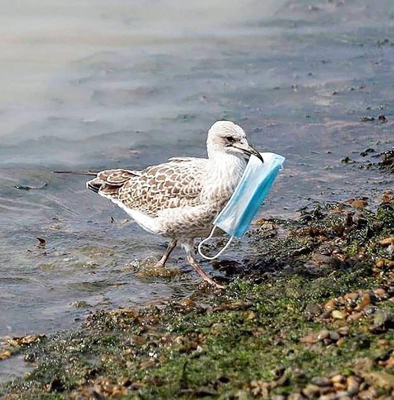 Para ayudar a la fauna marina corte los elásticos de las mascarillas antes de botarlas