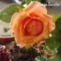 Mawar Bicolor