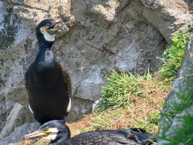 Day trip to Ireland's Eye Island - nesting cormorants