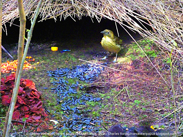 Vogelkop Bowerbird (Amblyornis innornatus)