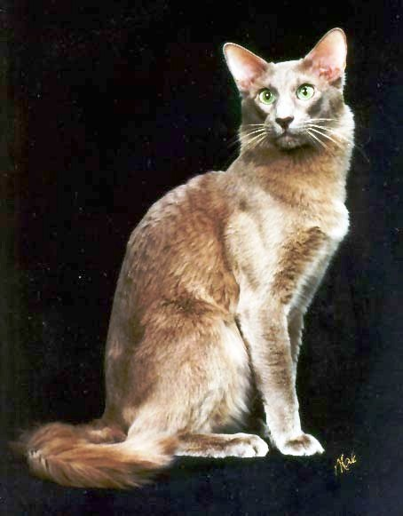 uska perzijska maca