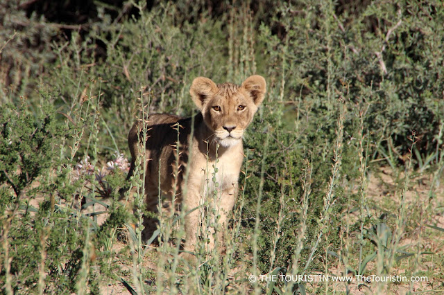 A lion cub in thick bush peering inquisitively into the distance.