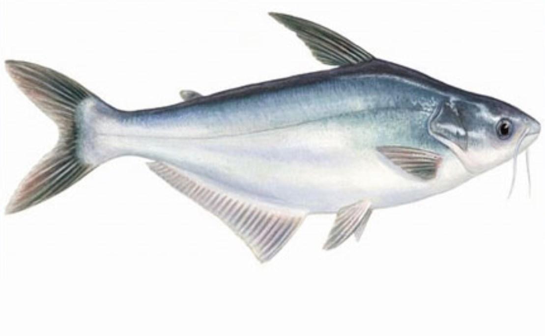 Cara Budidaya Ikan Patin Dengan Baik Dan Benar Dijamin Menguntungkan Muat Artikel