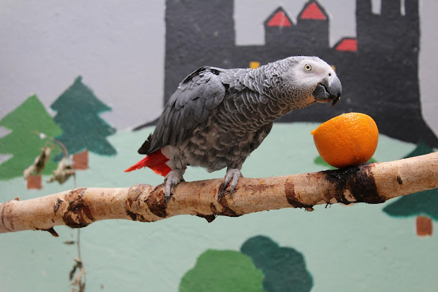 african gray parrot age