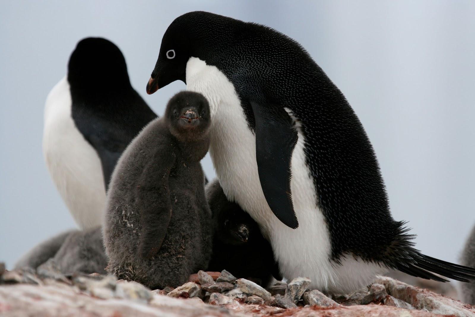 пингвин адели фото для всех живущих