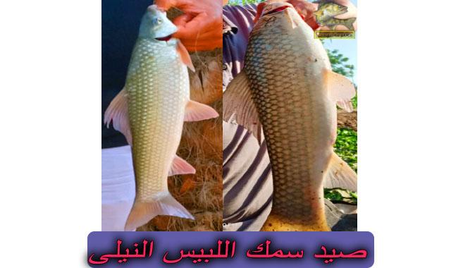 طريقة صيد سمكة اللبيس النيلى | سمك اللبيس