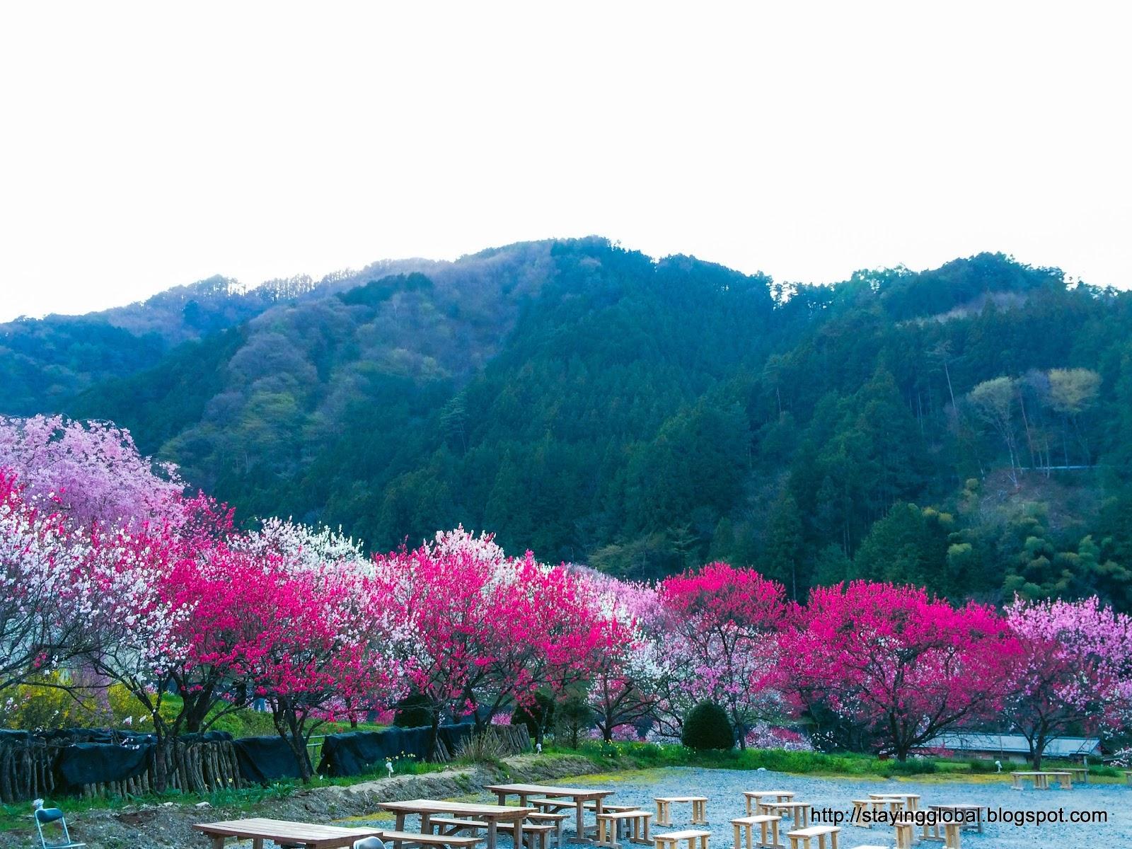 Cherry blossom period outdoor fuck fest teaser