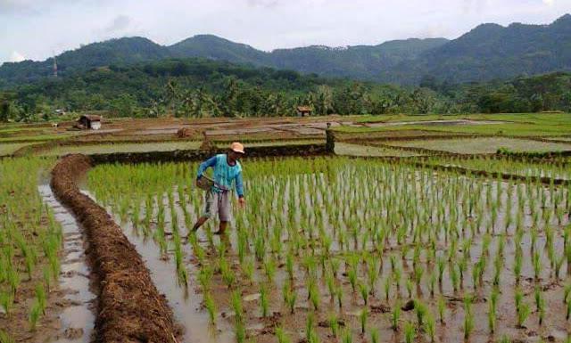 Penyebab pupuk bersubsidi langka dikalangan petani di tahun 2020