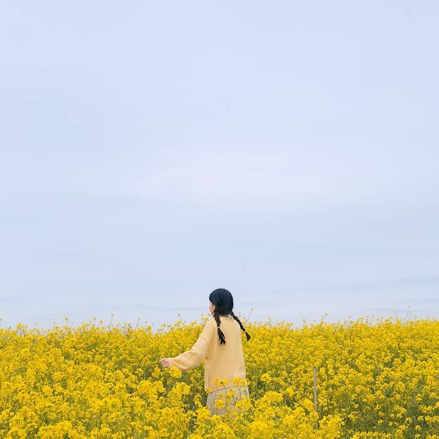 Nếu bạn muốn tìm một điểm du lịch cho mùa hè, nhưng lại quá chán những bãi biển đông đúc, thì Hàn Quốc sẽ là nơi lý tưởng cho bạn. Những cánh đồng hoa cải bát ngát trải một màu vàng tươi đến tận chân trời sẽ cho bạn những tấm ảnh đẹp tựa một cảnh phim và khiến bạn càng thêm ngưỡng mộ vẻ đẹp của xứ Kim Chi.