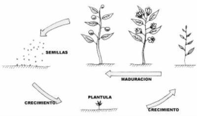 División del período vegetativo