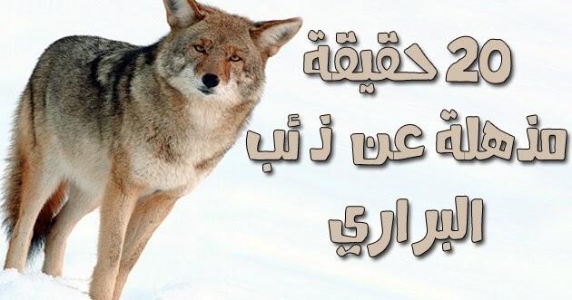 ذئب البراري أو ذئب القيوط