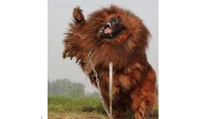 Θιβετιανό Μαστίφ, το ακριβότερο και δυνατότερο σκυλί στον κόσμο!