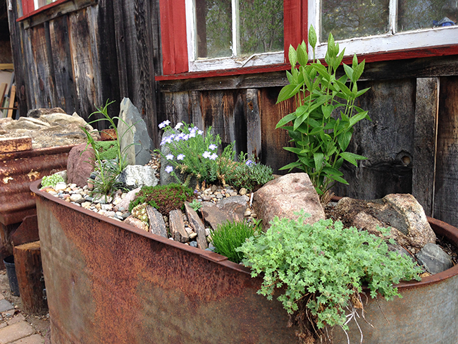Nice Growing With Plants How To Make A Real Alpine Trough Garden With Entrancing If You Are Creative Many Containers Can Be Turned Into An Alpine Trough   This Galvanized Horse Trough Shows Off Alpine Plants Perfectly In The Garden  Of  With Lovely School Gardening Club Also B And M Gardening In Addition Images Courtyard Gardens And Breakfast Places In Covent Garden As Well As Plastic Garden Containers Additionally Solar Garden Lights Online From Growingwithplantscom With   Entrancing Growing With Plants How To Make A Real Alpine Trough Garden With Lovely If You Are Creative Many Containers Can Be Turned Into An Alpine Trough   This Galvanized Horse Trough Shows Off Alpine Plants Perfectly In The Garden  Of  And Nice School Gardening Club Also B And M Gardening In Addition Images Courtyard Gardens From Growingwithplantscom