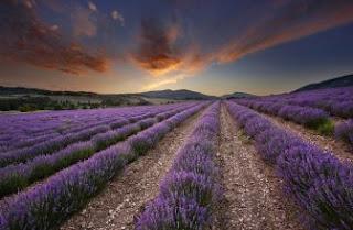 Foto Bunga Lavender Ungu yang Indah 23