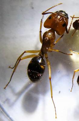 The major worker of a Camponotus maculatus pallidus