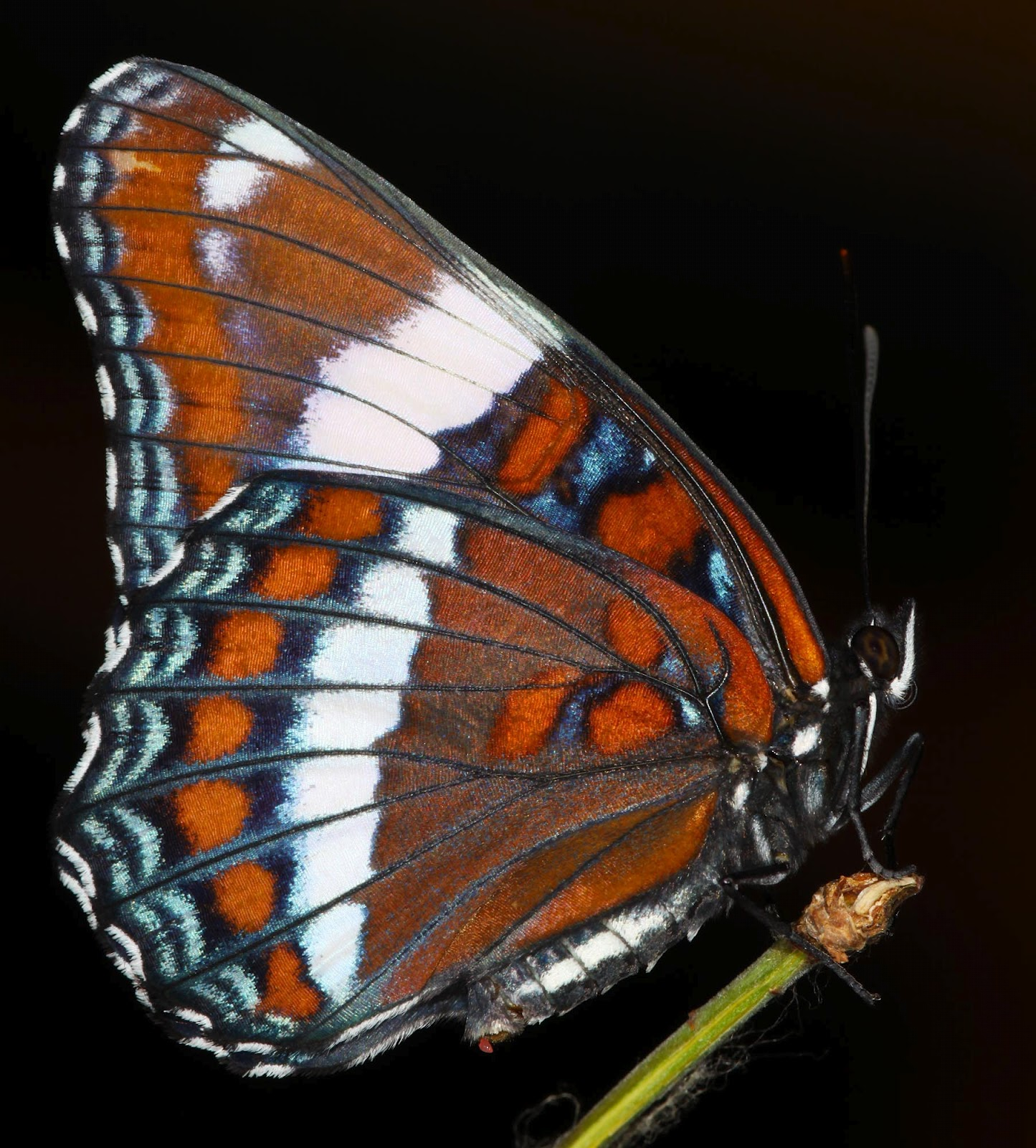 All Of Nature: White Admiral Butterfly Life Cycle