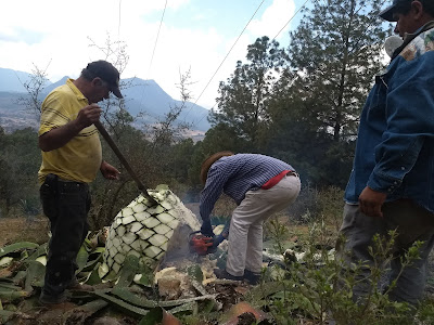 maguey agave mezcal artesanal wild production michoacan Mexico