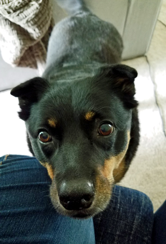 image of Zelda the Black and Tan Mutt standing in front of me with her chin on my knee, looking up at me