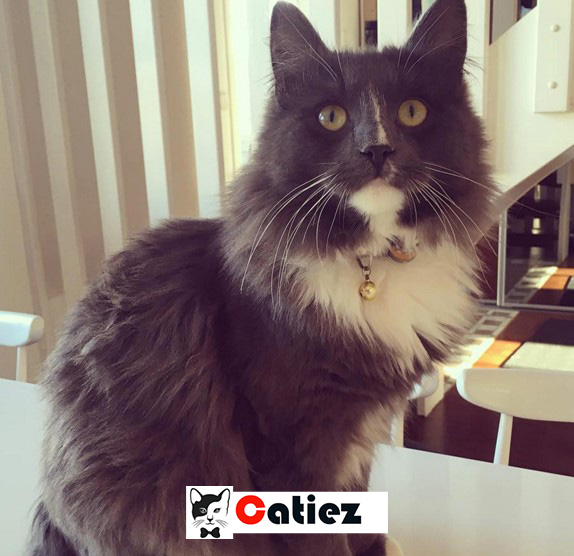 Cymric Cat - all you want toknow about Cymric Cats