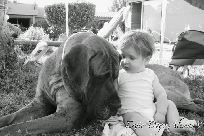 Dogo aleman atigrado con bebe
