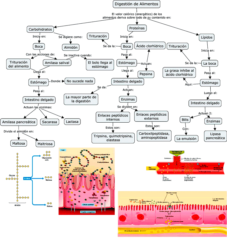 Mapa conceptual de la digestión de alimentos