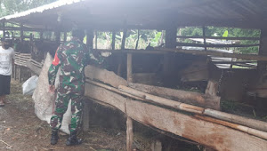 Sambangi  Kandang Ternak Warga Binaannya Ini Harapan Babinsa Kelurahan Bugis.