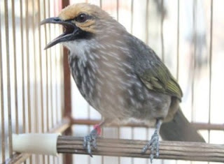 Burung Cucak Rowo - Gangguan Pencernaan Pada Burung Cucak Rowo dan Cara Pengobatannya - Penangkara Burung Cucak Rowo
