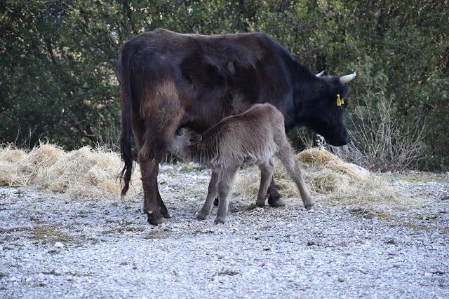 Τσαπραΐλης Αχιλλέας: Εκτατική Κτηνοτροφία, ΤΕΛΟΣ.