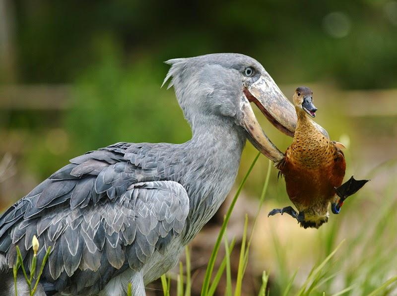 تعرف على شكل الطائر الكبير الحجم Shoebill