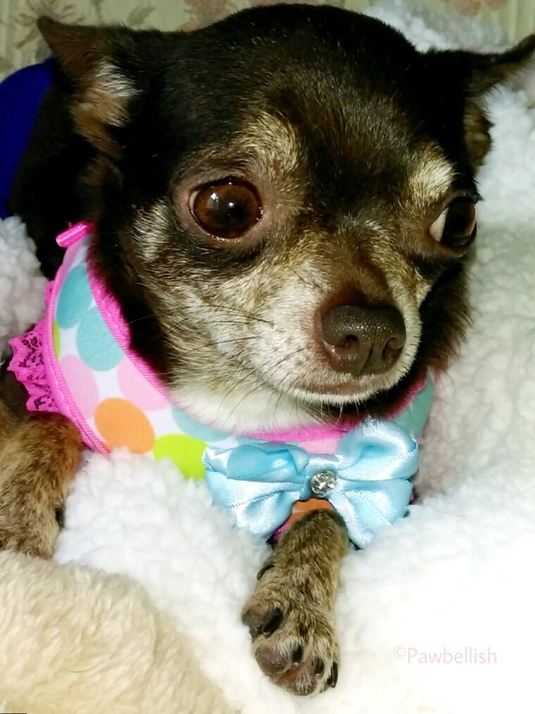 Tootsie the Chihuahua, Gotcha Day