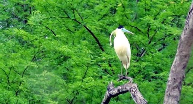 A garça-real é uma ave pelecaniforme da família Ardeidae, e cientificamente registrada de Pilherodius pileatus.