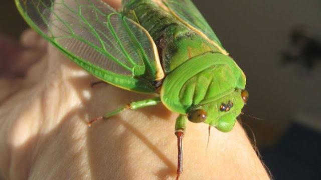 Suara Green Grocer cicada