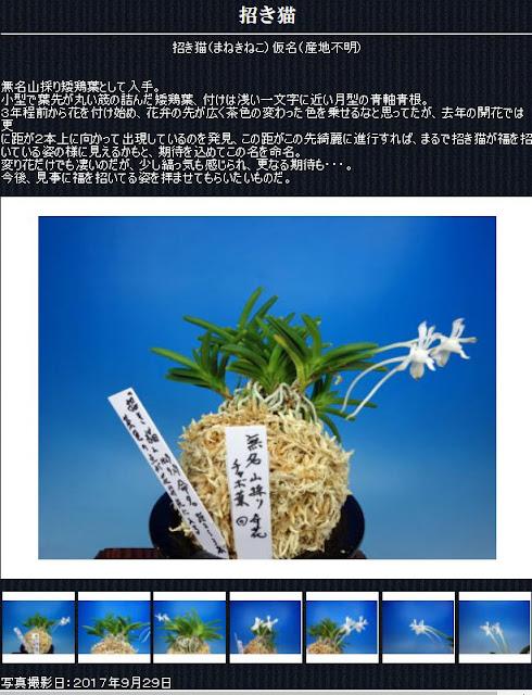 http://www.fuuran.jp/jiman_manekineko.html