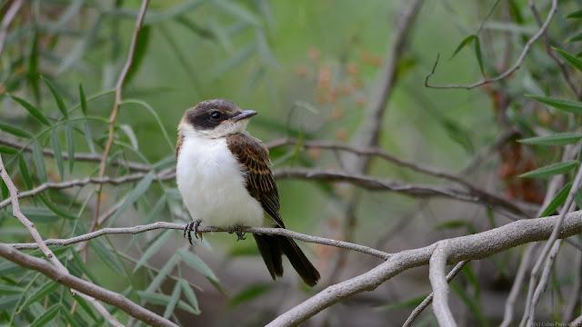 Fork-tailed Flycatcher Tyrannus savana Tesourinha Tijereta
