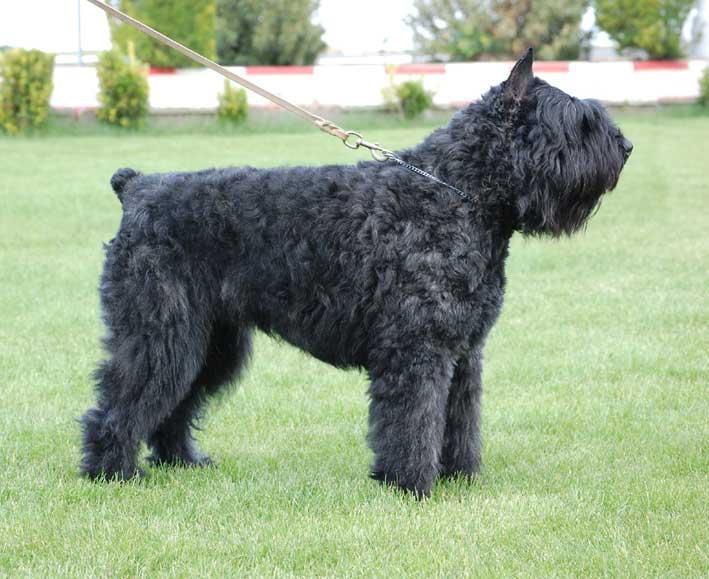 Bouvier des Flandres Dog Pictures | Herding Dog Breeds ...