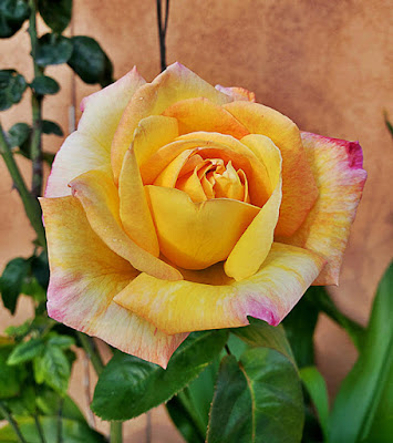 Close up of yellow rose flower.