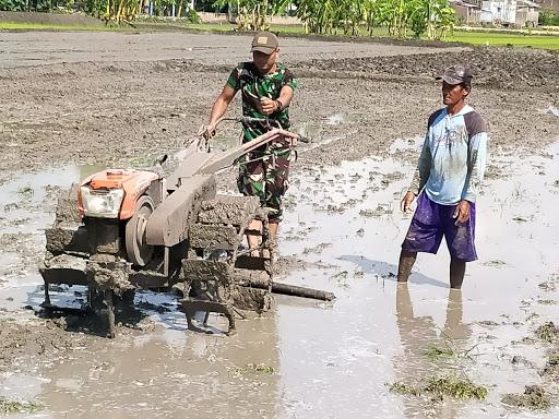 Bintara Pembina Desa (Babinsa) Bantu Petani Bajak Sawah Dan Tanam Padi