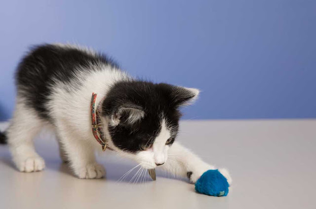 Opportunities for play (like this kitten) is one of the five pillars of a good environment for cats