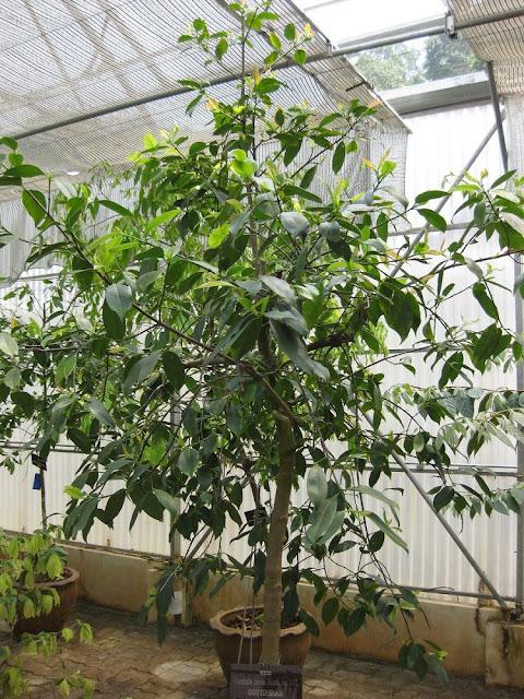 Cây Tai Chua - Garcinia pedunculata - Nguyên liệu làm thuốc Chữa Bệnh Tiêu Hóa